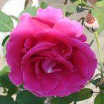Rose Cremation Urns for June