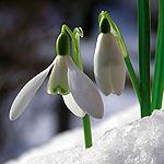 snow drop flower