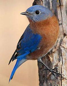 Missouri Official State Bird: Native Blue Bird