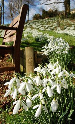 snow drop flower Painswick Garden, U.K.